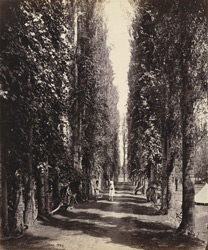 Poplar avenue with vines growing around the trunks, Srinagar